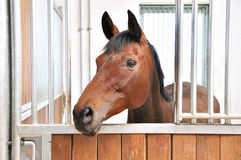 A portrait of brown horse in barn Royalty Free Stock Photo
