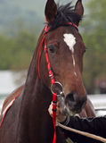 Portrait of brown horse Stock Images