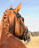 Portrait of brown horse from behind Stock Images