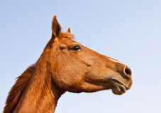 Portrait of brown horse from below Royalty Free Stock Image