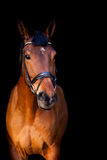 Portrait of brown horse on black background Royalty Free Stock Photos