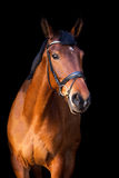 Portrait of brown horse on black background Royalty Free Stock Photography