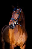 Portrait of brown horse on black background Stock Images
