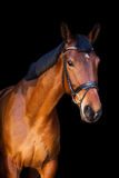 Portrait of brown horse on black background Stock Image