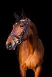 Portrait of brown horse on black background. Portrait of brown sport horse on black background Royalty Free Stock Photo