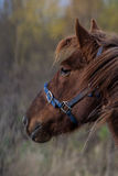 Portrait of a brown horse in a blue harness. On nature Stock Images
