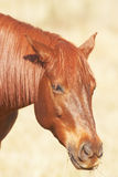 Portrait of brown horse chewing. Head of chestnut brown horse chewing straw Royalty Free Stock Images