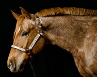 Portrait of brown horse face. Horse head portrait with neck and shoulders Stock Image