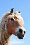 Portrait of a brown horse. In front of blue sky Royalty Free Stock Photo