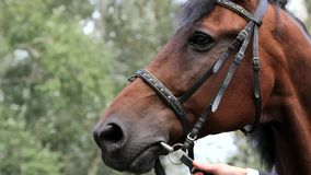 Portrait of brown horse stock footage