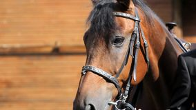 Portrait of brown horse stock video footage
