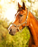 Portrait of a brown horse in the grass. Portrait of a light brown horse in the grass royalty free stock image