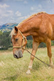 Portrait of brown horse grazing in a meadow at sunny day Stock Photos