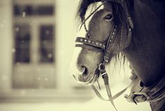 Portrait of a horse in a harness. Royalty Free Stock Photography