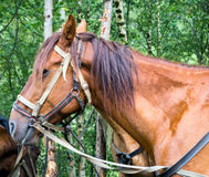 Portrait of brown horse. Brown horse in harness with the reins stock photo
