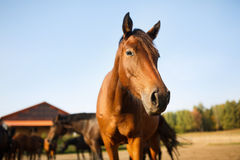 Portrait of the brown horse. In the meadow at autumn time stock photos
