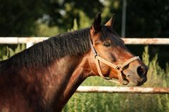 Portrait of brown horse neighing Royalty Free Stock Image