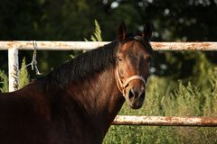 Portrait of brown horse neighing Stock Photography