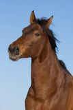 Portrait of brown horse Royalty Free Stock Photos