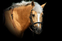 Portrait of  brown horse. Stock Images
