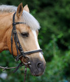 Portrait of  brown horse. Royalty Free Stock Photos