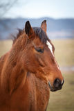 Portrait of brown horse Royalty Free Stock Image