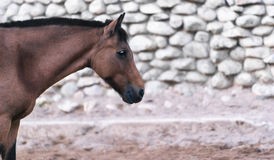Portrait of a brown horse in profile Royalty Free Stock Images