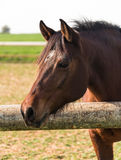 Portrait of a brown horse Stock Images