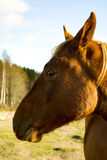 Portrait of Brown Horse in Sunlight Royalty Free Stock Photo