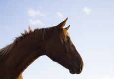 Portrait of Brown Horse in Sunny Day Royalty Free Stock Photography