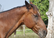 Portrait of a brown horse from Tuscany Stock Images