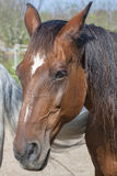 Portrait of a brown horse from Tuscany Stock Image