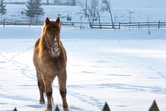 Portrait of a horse on snow in winter. Portrait of a brown horse on a white snow background with forest in the background Royalty Free Stock Photo