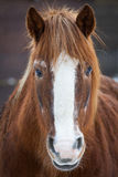 Portrait of brown horse Stock Photo