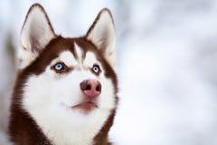 Portrait of brown husky dog Stock Photo