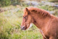 Portrait of a brown icelandic pony on a pasture. Royalty Free Stock Photography