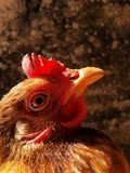 Portrait of brown indian hen Royalty Free Stock Photography