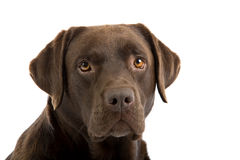 Portrait of brown labrador Stock Photos