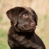 Portrait of a brown labrador puppy Royalty Free Stock Photos