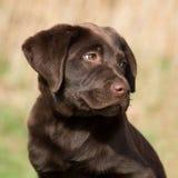 Portrait of a brown labrador puppy. Portrait of a chocolate brown labrador puppy Royalty Free Stock Photos