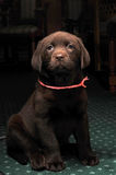 Portrait of brown labrador puppy in low key Royalty Free Stock Photography