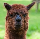 Portrait of a brown Llama (face) Royalty Free Stock Image