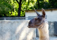 Portrait of a brown llama Royalty Free Stock Photo