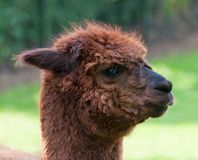 Portrait of a brown Llama (profile) Stock Photos
