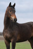 Portrait of brown mare Stock Images