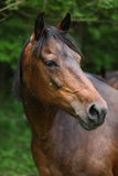 Portrait of brown mare Royalty Free Stock Image