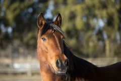Portrait of a brown mare in winter Stock Images