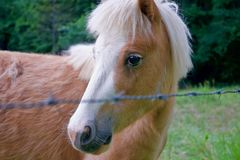 Portrait of Brown Miniature Horse Royalty Free Stock Photos