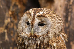 Portrait of a brown owl Stock Images