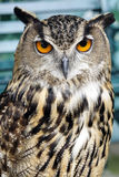 Portrait of brown owl Stock Photography